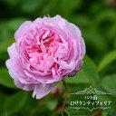 【バラ苗】 ロサケンティフォリア 大苗 オールドローズ old ピンク 薔薇 バラ苗木 np