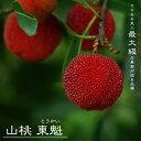 ■限定販売■ 山桃(ヤマモモ) 東魁 (トウカイ ) メス 2年生 接ぎ木 ロングスリット鉢苗