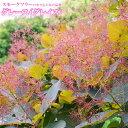 スモークツリー グレース (グレイス) ポット苗 煙の木 庭木 落葉樹 低木