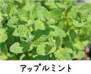 宿根草 苗 多年草 耐寒性 イングリッシュガーデンミントの中では最高の風味と芳香があります。...