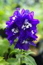 宿根草 苗 多年草 耐寒性 豪華で壮観な花穂がイングリッシュガーデンの雰囲気を演出デルフィニ...