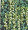 ジギタリス アンビグア キツネノテブクロ ポット苗 宿根草 苗 多年草 耐寒性 日陰