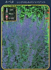 イングリッシュガーデン小さな青い花を咲かせ、葉はミントの香りがします。宿根草・多年草ネペ...