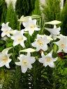 初夏に楽しむ魅惑の花「百合」日本の風土に合うユリの花を育てる!ゆり/テッポウ百合/白花/日の...