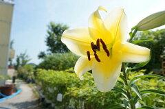 百合(ユリ・ゆり)ジャンボ球根をスリット鉢に植え替えました! 初夏に黄色いユリの花が楽しめ...