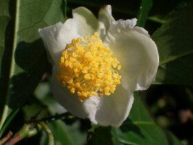 サヤマ茶の花。椿の仲間なので花もツバキっぽいですね