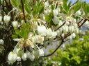 真っ赤に染まる紅葉と白いかわいい花が魅力■衝撃特価苗■白ドウダンツツジポット苗 庭木 落葉...