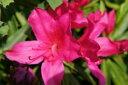 ツツジ 平戸ツツジ 【 赤 】 ヒラドツツジで店長が一番好きな花色です。 つつじ 苗 庭木 常緑樹...