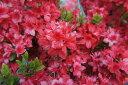 ツツジ 久留米ツツジ 【 飛龍の舞 】 花火のような名前と美しさ つつじ 苗 庭木 常緑樹 グラン...