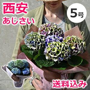 色が変わる!秋色あじさい・西安ピンク/西安ブルー(シーアン) 5号 鉢(鉢植え)母の日のプレゼ…