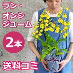 オンシジュームの鉢植え(2本立)お供え初盆お盆に黄色い蘭(ラン)の花を。送料無料