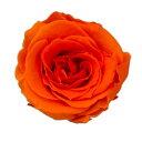 即日★【プリザーブド】KIARA/ローズS(12輪)ビビッドオレンジ/PG001-10【00】《 プリザーブドフラワー プリザーブドフラワー花材 バラ(ローズ) 》