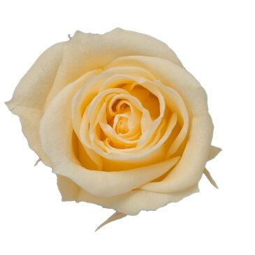 即日 【プリザーブド】KIARA/ローズM(9輪)シャンパーニュ/PG002-07《 プリザーブドフラワー プリザーブドフラワー花材 バラ(ローズ) 》