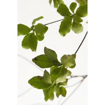 即日【プリザーブド】大地農園/ドウダンツツジグリーン1束(1〜2本)/04080-700《プリザーブドフラワープリザーブドグリーン葉物》