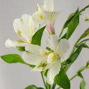 【生花】アルストロメリア[白]60cm[5本]