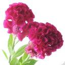 【生花】久留米ケイトウ〔濃いピンク〕※[5本]※届日限定:8...