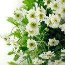 【生花】マトリカリア ダブルラテ(白八重)50cm〜 【OT】[5本] - 花材通販はなどんやアソシエ