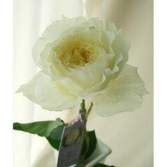 【生花 切り花 切花 バラ ローズ 薔薇 ブライダル DAローズ デビッド オースチン オースティン...