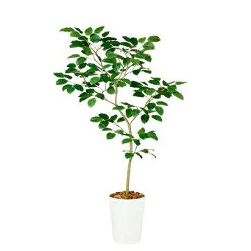 【直送】【人工観葉植物】ベンガルボダイジュ