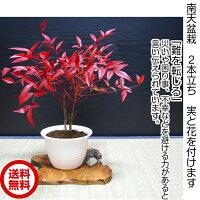 盆栽南天2本立ち南天盆栽数十枚の鮮やかな深紅色の葉