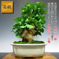 盆栽黄金葉の懐かしさ感じる「高級」乳銀杏盆栽(チチイチョウ)貴風盆栽