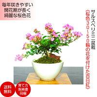 淡紅色花30〜50輪の百日紅ミニ盆栽花もの盆栽