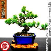 盆栽「別格銀緑葉の輝き」樹齢10年《極太幹の福寿銀八房五葉松盆栽》