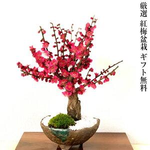 Bonsai Ume Special Red Ume 80 ~ 100 ou plus Bud Tree 5 ans Bonsaï prune avec un tronc très épais Forme d'arbre puissant avec une forme d'arbre et une ramification exceptionnelles Bonsai ume intérieur Débutant Bonsaï à la mode Anniversaire 60e anniversaire Célébration Fleur cadeau Prune moderne bonsaï Bonsaï cadeau