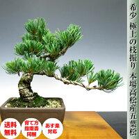 送料無料風水開運五葉松盆栽縁起の良い盆栽ギフト松盆栽
