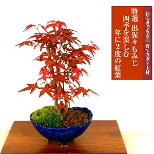 Bonsai Momiji Mini Bonsai Datum und Uhrzeit können angegeben werden. Auszeichnung Gedenkbaum Seto Yakihatsu Bonsai Momiji Mini Indoor Anfänger Modischer Laub Symbolbaum Geburtstagsfeier Ruhestandsfeier Muttertag Vatertag Respekt für ältere Menschen Geschenk Bonsai Geschenk