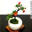 盆栽 梅 長寿梅 即日出荷 福寿の長寿梅 ミニ盆栽 3,5号鉢 極上樹の本格長寿梅 縁起物として大人