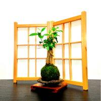 《心の清涼》癒し与える活力みなぎるコンパクト観葉熱帯盆景シリーズ《ガジュマル3樹寄せ植え》