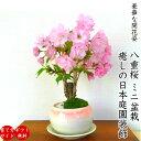 八重桜 盆栽 ギフト 無料 ミニ盆栽 八重咲 30以上の蕾を