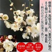 八重咲き プレゼント