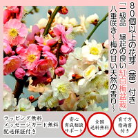 縁起樹紅白梅盆栽【樹齢5年極太幹の紅白梅盆栽八重咲】【80個以上の蕾をつけた八重紅白梅盆栽】