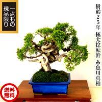 【盆栽専門店】【父の日に贈る盆栽】【敬老ギフト】【極上品質保証】