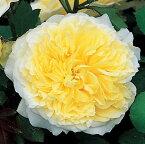 バラ 苗 イングリッシュローズ 【ザ ピルグリム 大輪 返り咲き】 2年生 接ぎ木大苗 10リットル 鉢植え 薔薇 ローズ バラ の 苗