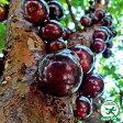 大苗【ジャボチカバ】 3年生接木苗 ポット苗 熱帯果樹 観葉植物四季成り性実成の早い接木苗