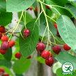 ジューンベリーラマルキー【大実品種】 落葉樹 シンボルツリー 果樹苗木 果樹苗ジュンベリー