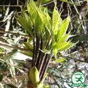 コシアブラ 苗 【山菜 コシアブラ】 1.0m 根巻き苗 漉油 苗木 野菜 野菜苗