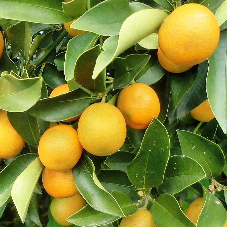 苗物, 果物の苗物  3