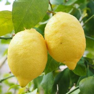 選抜トゲなしリスボンレモン