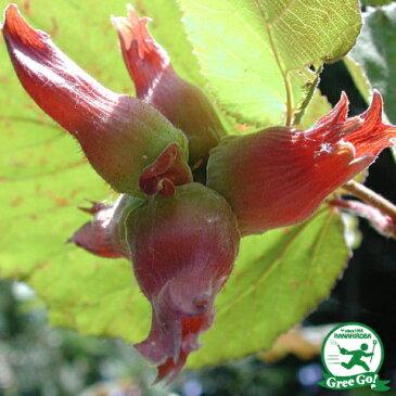 ヘーゼルナッツ 苗 【ロードゼラヌート】 2年生 接ぎ木 スリット鉢植え 西洋ハシバミ 苗木 果樹 果樹苗
