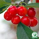 ◆送料無料◆ さくらんぼ 苗木 【紅さやか】 1年生 接ぎ木