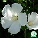 ◆送料無料◆ ムクゲ 苗 【白一重】 5号ポット苗 (ニーム...