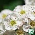 サンザシ 【ルビーサンザシ 一重白花 ポット苗】苗 庭木 落葉樹 低木 花木