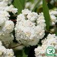 八重咲きコデマリ ポット苗苗 庭木 落葉樹 低木 生け垣
