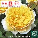 ◆バラ 福袋◆ イングリッシュローズ【シャーロット オースチ...