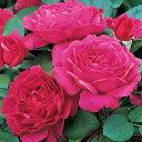 バラ 苗 イングリッシュローズ 【ノーブル アントニー 非常に返り咲く】 2年生 接ぎ木大苗 6リットル 鉢植え 薔薇 ローズ バラ の 苗