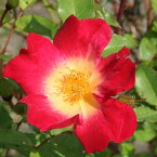 バラ 苗 【コクテール (カクテル) (CL) つるバラ 返り咲き】 1年生 接ぎ木苗 3.5号 (10.5cm) ポット苗 アーチ向け 薔薇 ローズ バラ の 苗